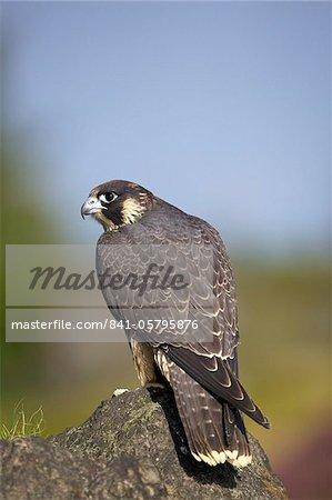 Captive Peregrine Falcon, Loughborough, Leicestershire, England, United Kingdom, Europe