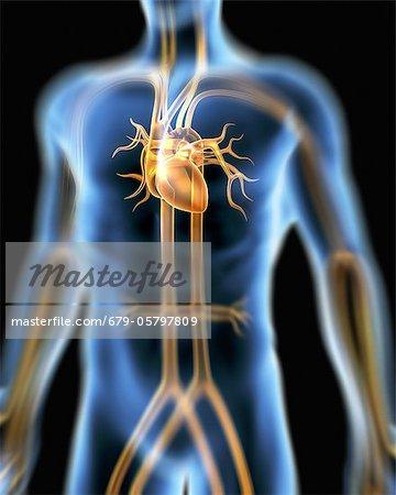 Menschlichen Herz-Kreislauf-System, Kunstwerk - Stockbilder ...
