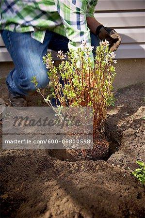 Gardener Planting Daphne Shrub, Toronto, Ontario, Canada