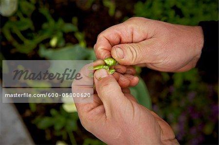 Gardener holding Plant Pod, Bradford, Ontario, Canada