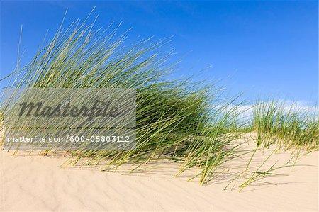 L'herbe à Kniepsand, Amrum, Schleswig-Holstein, Allemagne