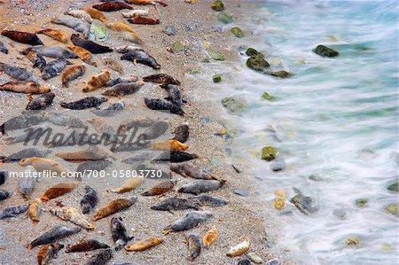 Grey Seal Colony on Beach, Godrevy Point, Cornwall, England