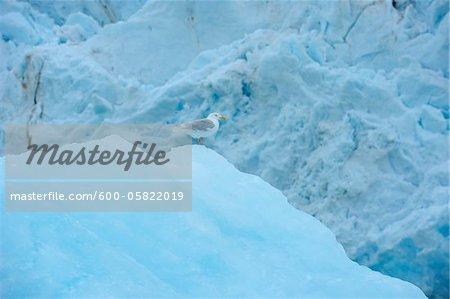 Seagull, Monacobreen Glacier, Haakon VII Land, Spitzbergen, Svalbard, Norway