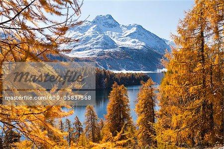 Larch Trees by Lake Sils and Piz de la Margna, Engadin, Switzerland