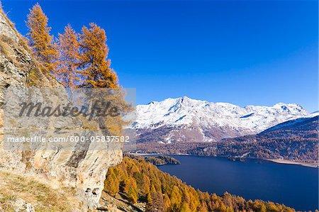 Mélèzes, lac de Sils et Piz Corvatsch, Engadin, Suisse