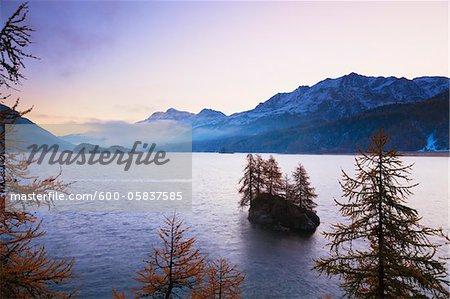Mélèzes sur l'île dans le lac de Sils, Engadin, Suisse