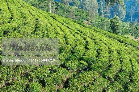Terrassenförmig angelegten Feldern auf einer Teeplantage Ceylon, Dickoya, Hill Country, Sri Lanka, Asien
