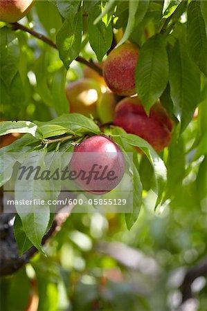 Nectarines, Cawston, Similkameen Country, British Columbia, Canada