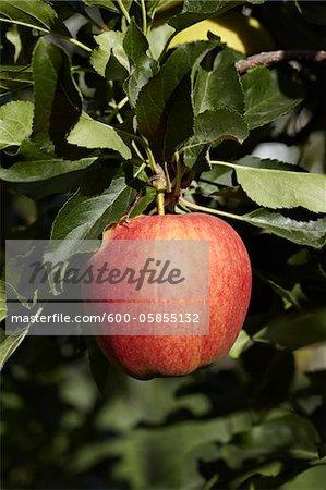 Roter Apfel, Cawston, Similkameen Land, British Columbia, Kanada