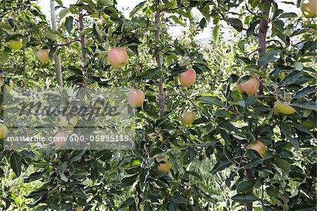 Espaliered Apple Trees, Cawston, Similkameen Country, British Columbia, Canada