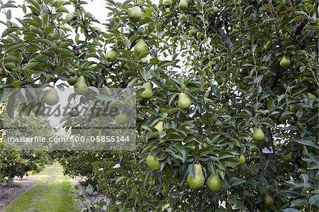 Bartlett Pear Trees, Cawston, Similkameen Country, British Columbia, Canada