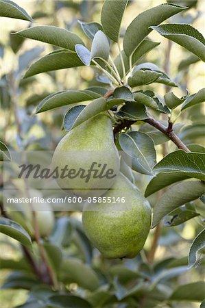 Bartlett Pears, Cawston, Similkameen Country, British Columbia, Canada