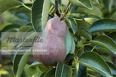 Red Anjou Pear, Cawston, Similkameen Country, British Columbia, Canada