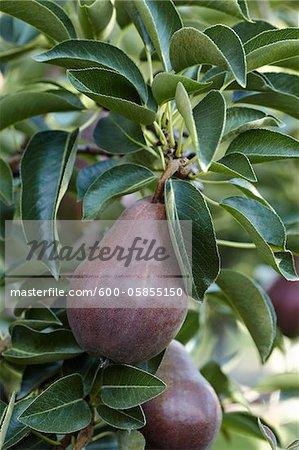 Red Anjou Pears, Cawston, Similkameen Country, British Columbia, Canada