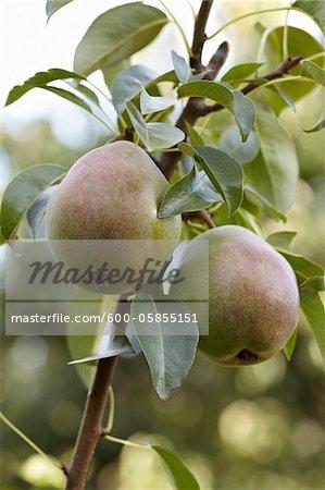 Pears, Cawston, Similkameen Country, British Columbia, Canada