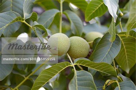 Walnuts, Cawston, Similkameen Country, British Columbia, Canada