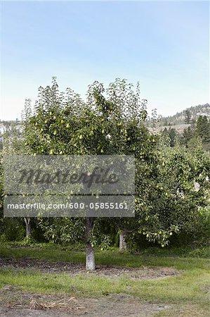 Bartlett Birne Bäume, Cawston, Similkameen Land, British Columbia, Kanada