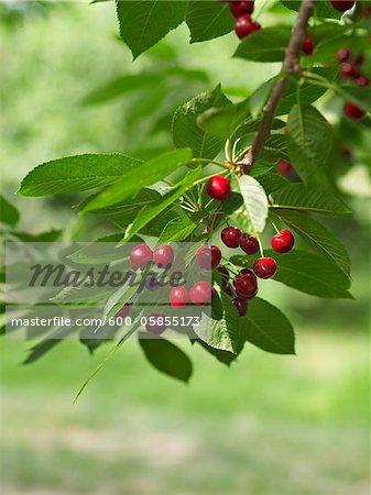Sour Cherries, Beamsville, Niagara Region, Ontario, Canada