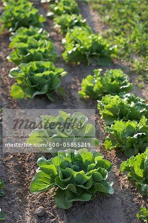 Romaine and Leaf Lettuce, Fenwick, Ontario, Canada