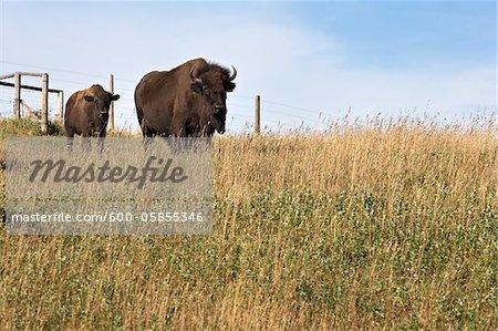 Bison with Calf, Tacarsey Bison Ranch, Pincher Creek, Alberta, Canada