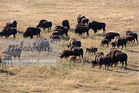 Herde von Bison, Tacarsey Bison Ranch, Pincher Creek, Alberta, Kanada