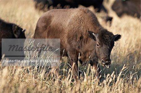 Bison Calf in Field, Tacarsey Bison Ranch, Pincher Creek, Alberta, Canada