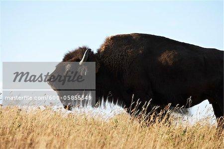 Weibliche Bison im Feld, Tacarsey Bison Ranch, Pincher Creek, Alberta, Kanada