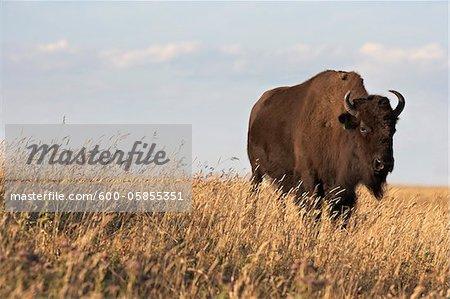 Bison im Feld, Tacarsey Bison Ranch, Pincher Creek, Alberta, Kanada