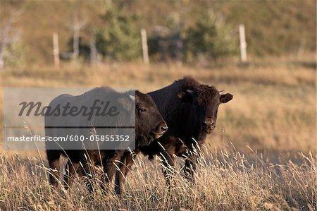 Bison Kälber in Field, Tacarsey Bison Ranch, Pincher Creek, Alberta, Kanada