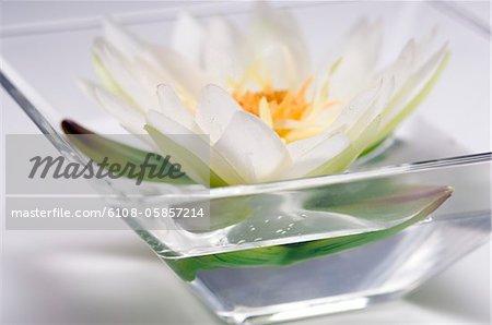 Fleur de lys d'eau, gros plan