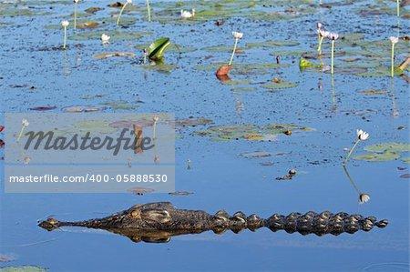 Large saltwater crocodile, Yellow water billabong, Kakadu National Park, Northern Territory, Australia