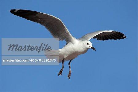 A Hartlaubs gull (Larus hartlaubii) in flight, South Africa