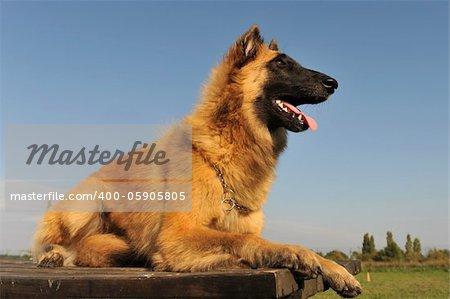 portrait of a purebred belgian shepherd tervueren  on a blue sky