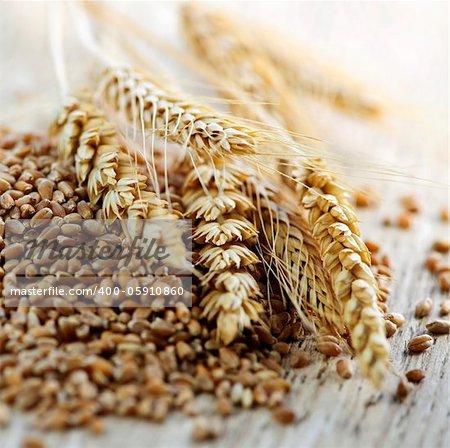 Closeup on pile of organic whole grain wheat kernels and ears