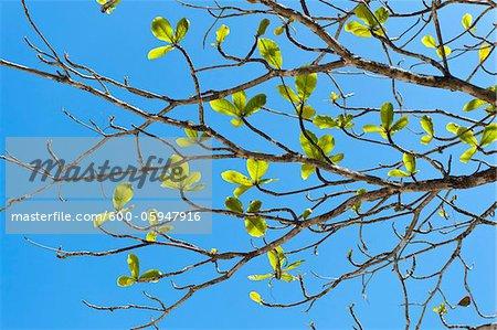Close-up of Tree Branch, Praia do Sono Beach, Brazil