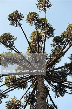 Brasilianischer Kiefer, Atlantische Regenwald, Brasilien