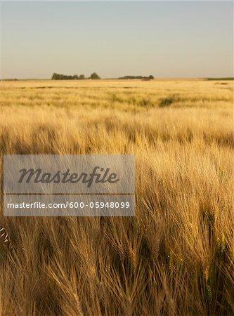 Field of Wheat, Alberta, Canada