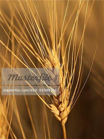 Close-up of Ear of Wheat Stock, Alberta, Canada