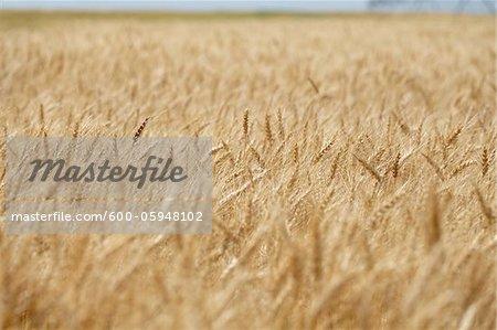 Wheat Stalks in Field, Alberta, Canada