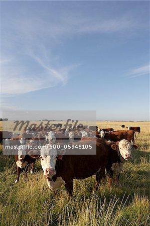 Herde Rinder in Feld, Alberta, Kanada