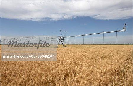 Irrigation Sprinkler Watering Wheat Field, Alberta, Canada