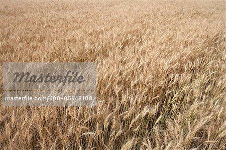 Close-up of Wheat Field, Alberta, Canada