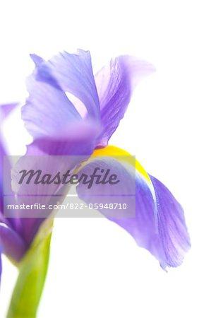Fleur d'Iris pourpre
