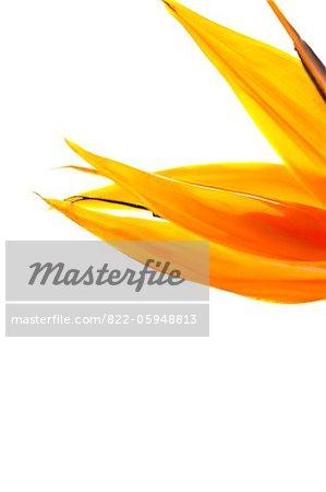 Fleur oiseau du paradis