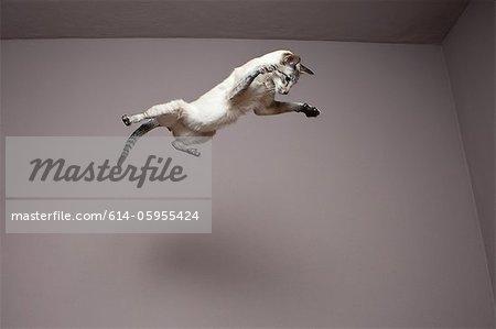 Chat siamois sautant en l'air