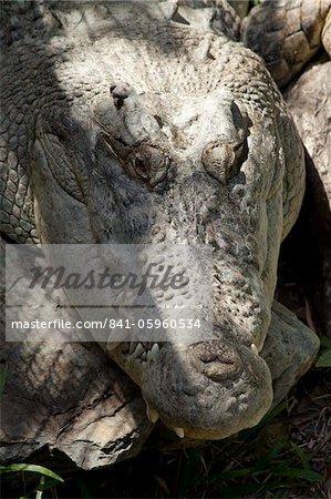 Estuarine crocodile (Crocodylus porosus), The Wildlife Habitat, Port Douglas, Queensland, Australia, Pacific