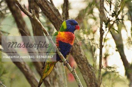 Rainbow lorikeet, Tyto Wetlands, Ingham, Queensland, Australia, Pacific
