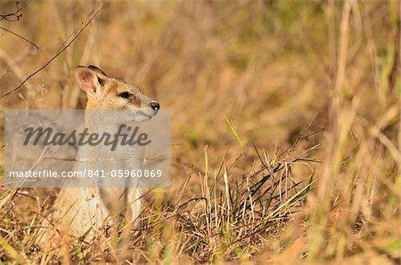 Agile wallaby, Tyto Wetlands, Ingham, Queensland, Australia. Pacific