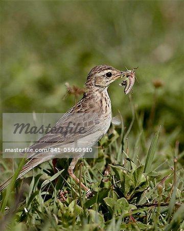 Pipit africain (pipit des Prairies) (pipit grassveld) (Anthus cinnamomeus) avec une sauterelle, le cratère de Ngorongoro, Tanzanie, Afrique de l'est, Afrique