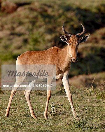 Coke Kuhantilope (Alcelaphus Buselaphus Cokii), Ngorongoro Crater, Ostafrika, Tansania, Afrika